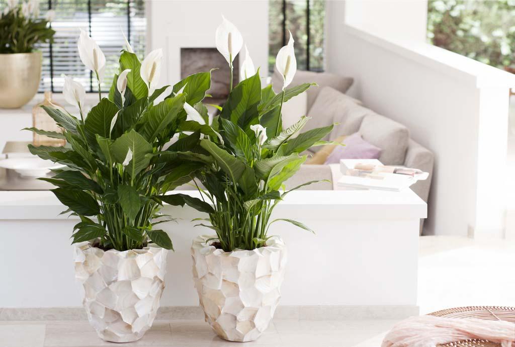 Spathiphyllum giglio della pace interni ambiente aria