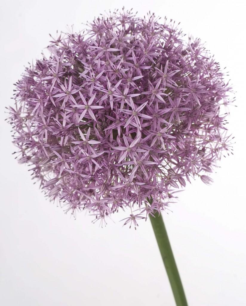 Allium fiori dell'aglio fiori aglio