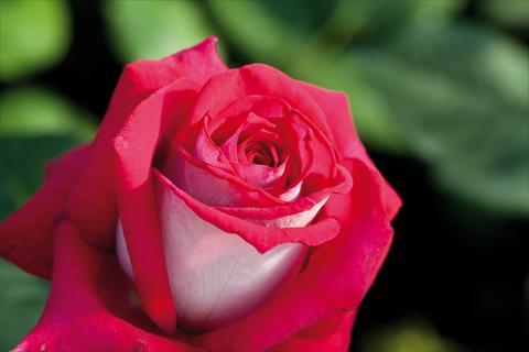 Rosa monica bellucci rose ingrosso fiori rose gambin milano