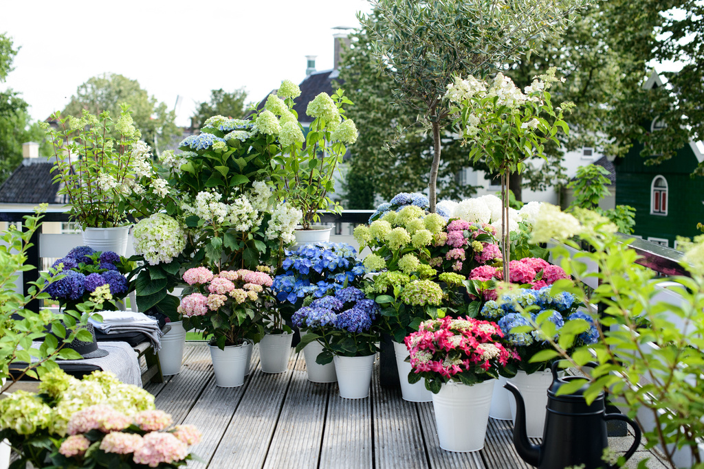 Ortensia luglio fiori ingrosso milano