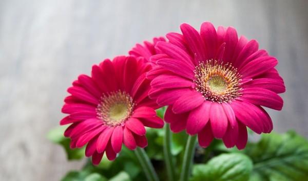 gerbera gerbere fiori recisi