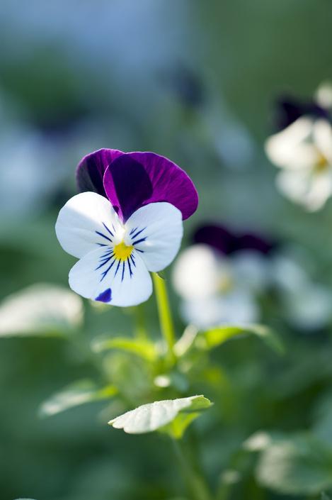 fiore viola viole