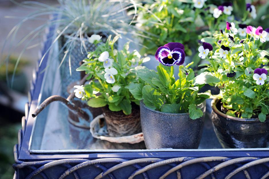 viole fiore viola