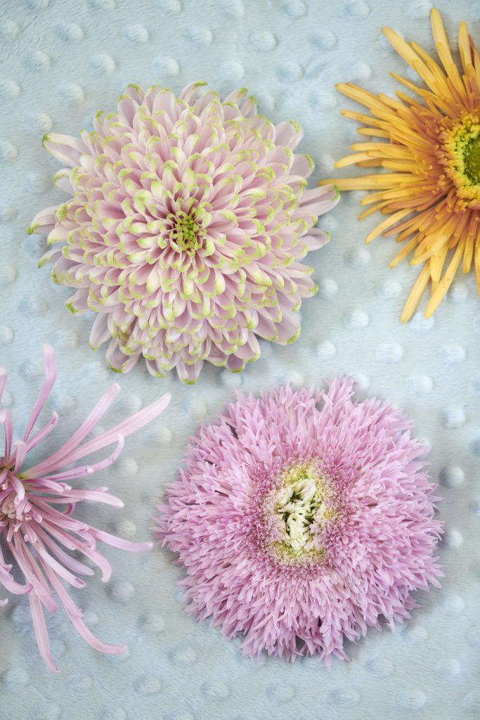 Crisantemi crisantemo fiori ingrosso italia