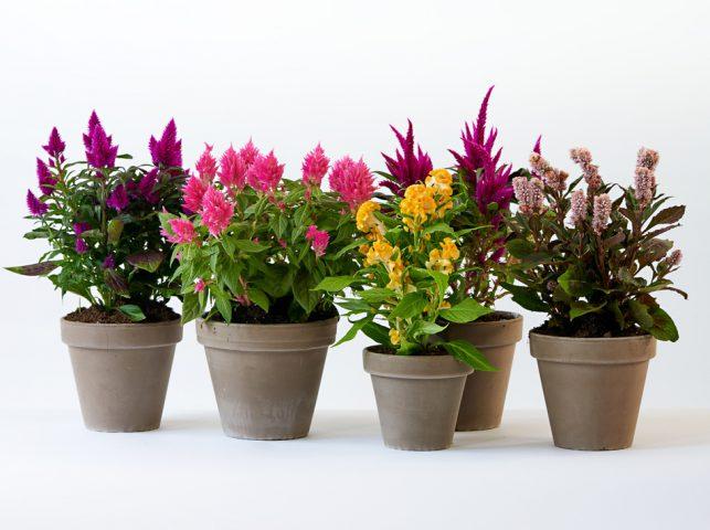 celosia fiore pianta luglio