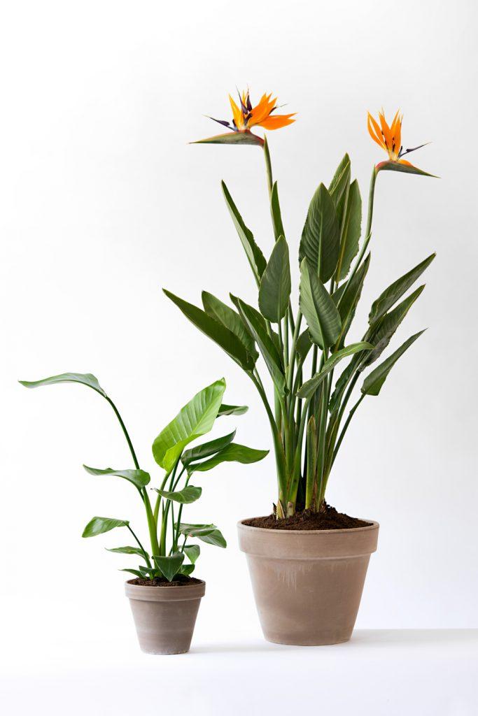 sterlizia ingrosso fiori