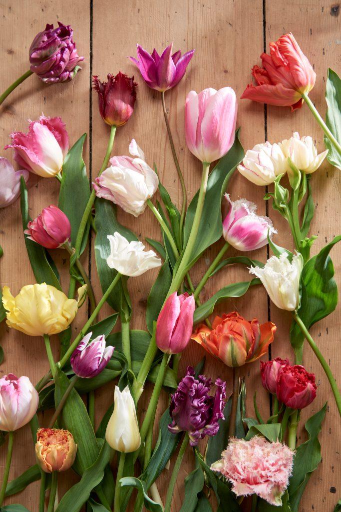 tulipano tulipani