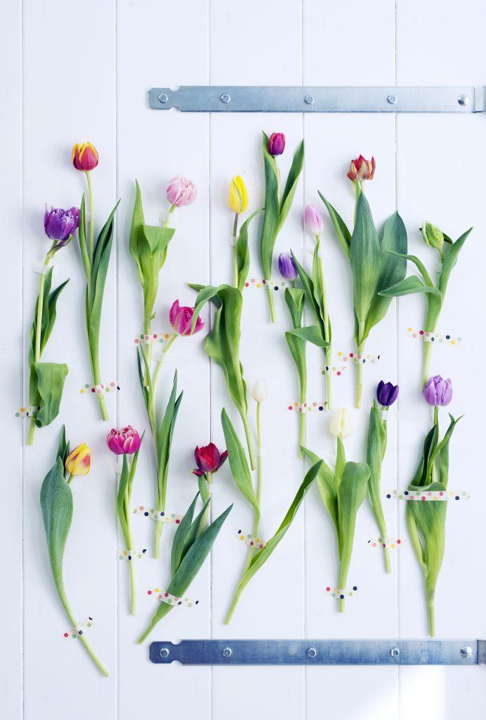 tulipani tulipano