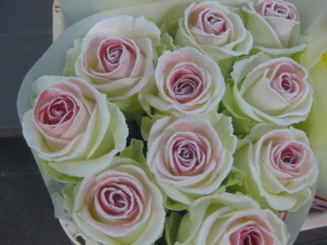 rosa avalanche rose avalanche
